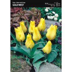 Tulipan 'Gold West' - 7 szt.
