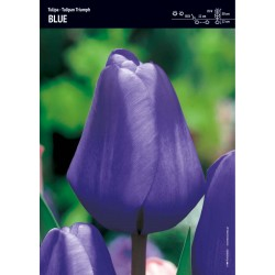 Tulipan 'Triumph Blue' - 15...