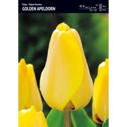 Tulipan 'Golden Apeldorn' -...