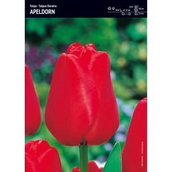 Tulipan 'Apeldorn' - 15 szt.