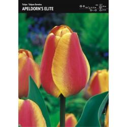 Tulipan 'Apeldorn's Elite'...